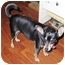 Photo 1 - Miniature Pinscher/Chihuahua Mix Dog for adoption in Greenville, Illinois - Poncho