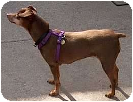Miniature Pinscher Dog for adoption in Syracuse, New York - Hayley