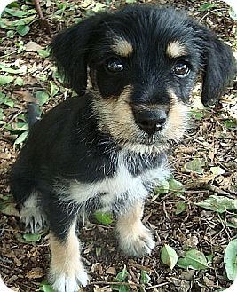 Schnauzer (Miniature)/Terrier (Unknown Type, Small) Mix Puppy for adoption in Windham, New Hampshire - Mcfearsome