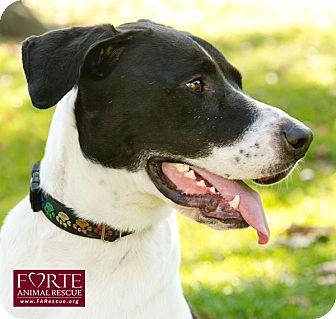 Pointer/Great Dane Mix Dog for adoption in Marina del Rey, California - Oggi