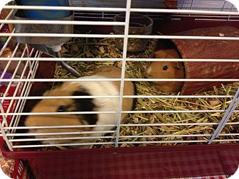 Guinea Pig for adoption in North Pole, Alaska - Stephie