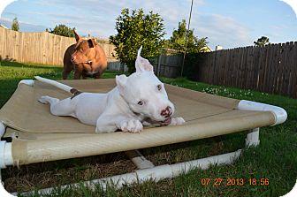 American Pit Bull Terrier Puppy for adoption in Killen, Alabama - Piglet