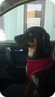 Black and Tan Coonhound Mix Puppy for adoption in Laingsburg, Michigan - Holly