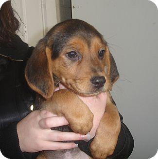 Labrador Retriever/Golden Retriever Mix Puppy for adoption in Old Bridge, New Jersey - Anna