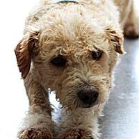 Adopt A Pet :: Morgan - non shed - Phoenix, AZ