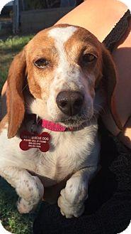 Beagle/Dachshund Mix Dog for adoption in Brea, California - Dolly