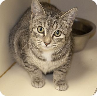 Domestic Mediumhair Cat for adoption in Lincolnton, North Carolina - Amy