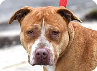 Labrador Retriever/American Pit Bull Terrier Mix Dog for adoption in New Haven, Connecticut - CALLIE