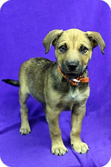 Shepherd (Unknown Type) Mix Puppy for adoption in Westminster, Colorado - Jenesse