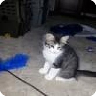 Domestic Mediumhair Cat for adoption in Balto, Maryland - Eggs