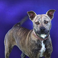American Staffordshire Terrier Mix Dog for adoption in Toluca Lake, California - Carly