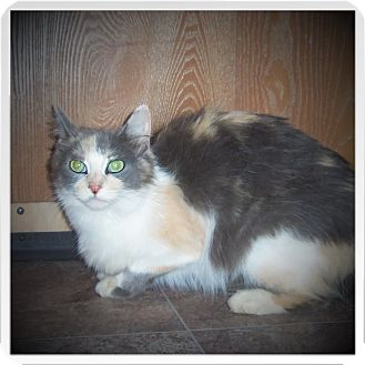 Domestic Longhair Cat for adoption in Medford, Wisconsin - HANNAH
