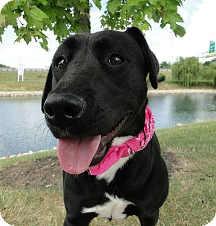 Labrador Retriever Mix Dog for adoption in Lewisville, Indiana - Chloe