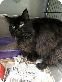 Domestic Longhair Cat for adoption in Cleveland, Mississippi - LEXI