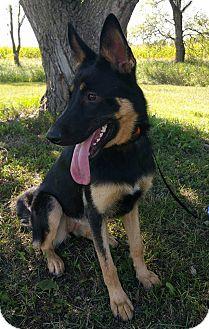 German Shepherd Dog Dog for adoption in Glenwood, Minnesota - Josie