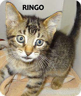 Domestic Shorthair Kitten for adoption in Lapeer, Michigan - Ringo