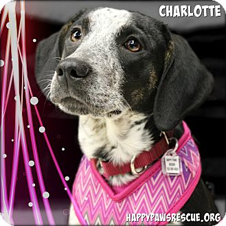 Pointer/Coonhound Mix Puppy for adoption in South Plainfield, New Jersey - Charlotte