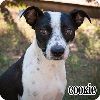 Terrier (Unknown Type, Medium)/Blue Heeler Mix Dog for adoption in Plano, Texas - Cookie