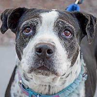 American Bulldog/American Pit Bull Terrier Mix Dog for adoption in Gilbert, Arizona - Grandma