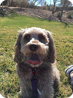 Poodle (Miniature)/Schnauzer (Miniature) Mix Dog for adoption in Las Vegas, Nevada - Penelope
