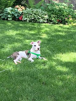 American Staffordshire Terrier/Pit Bull Terrier Mix Dog for adoption in Villa Park, Illinois - Clementine