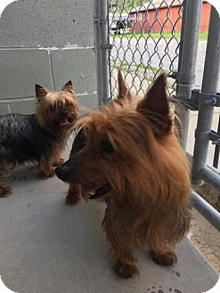 Yorkie, Yorkshire Terrier Mix Dog for adoption in Hagerstown, Maryland - Riley and Sadie are Bonded!