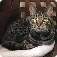 Domestic Shorthair Cat for adoption in Richmond, Virginia - Snugglefritz