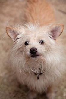 Terrier (Unknown Type, Small) Mix Dog for adoption in Eugene, Oregon - Stevie