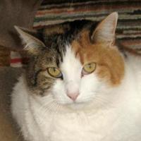 Adopt A Pet :: Butterphly - Mountain Center, CA