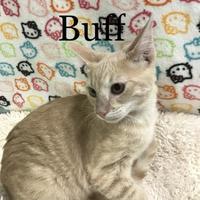 Adopt A Pet :: Buff - Fountain Hills, AZ