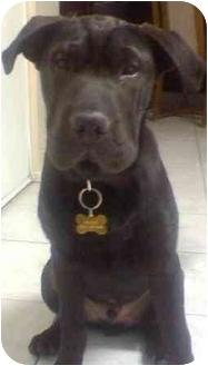 Shar Pei/Labrador Retriever Mix Puppy for adoption in Gilbert, Arizona - Bubbles