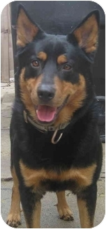 German Shepherd Dog/Husky Mix Dog for adoption in Chicago, Illinois - Chesney(ADOPTED!)