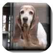Basset Hound Dog for adoption in Marietta, Georgia - Scully