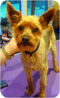 Yorkie, Yorkshire Terrier Dog for adoption in Greensboro, North Carolina - Riley