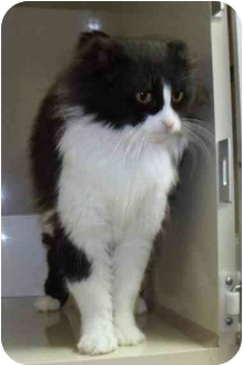 Domestic Mediumhair Cat for adoption in Morden, Manitoba - Stumpy