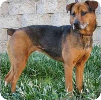 Shepherd (Unknown Type)/Rottweiler Mix Dog for adoption in Vista, California - Maggie
