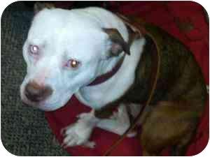 American Staffordshire Terrier Mix Dog for adoption in Dayton, Ohio - Lola