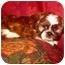 Photo 2 - Shih Tzu Puppy for adoption in Fort Wayne, Indiana - Shih Tzu Boys