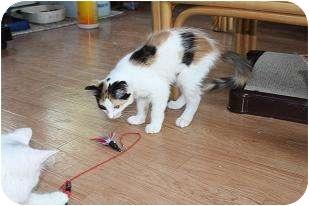 Domestic Longhair Kitten for adoption in St. Louis, Missouri - Katrina