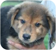 Australian Shepherd Mix Puppy for adoption in Londonderry, New Hampshire - Poo Bear