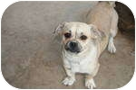 Pug/English Bulldog Mix Dog for adoption in Simi Valley, California - Lulu