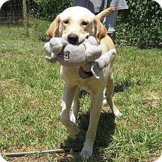 Labrador Retriever Dog for adoption in Spring, Texas - Luke