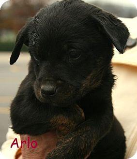 Terrier (Unknown Type, Medium)/Shepherd (Unknown Type) Mix Puppy for adoption in Danbury, Connecticut - Arlo