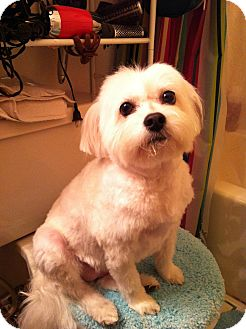Maltese/Poodle (Miniature) Mix Dog for adoption in Corona, California - MEKO