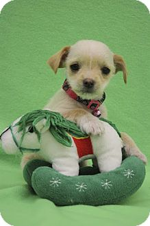 Chihuahua/Terrier (Unknown Type, Small) Mix Puppy for adoption in Broomfield, Colorado - Frodo