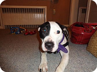 American Pit Bull Terrier Mix Dog for adoption in Clarksburg, Maryland - Claire