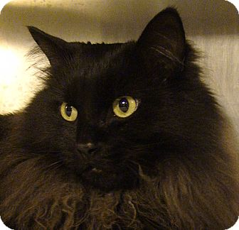 Domestic Longhair Cat for adoption in El Cajon, California - Smokey Joe