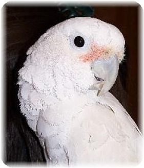 Cockatoo for adoption in Northbrook, Illinois - Daisy