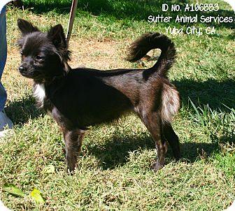 Chihuahua/Pomeranian Mix Dog for adoption in Yuba City, California - 10/26 Minnie Mouse