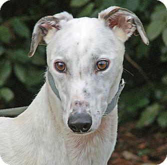 Greyhound Puppy for adoption in Portland, Oregon - Missy